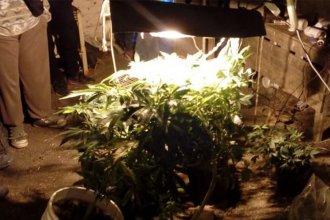 Buscaban un tractor, pero hallaron 128 plantas de marihuana en un vivero