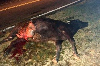 Una vaca, la razón por la que reconocido peluquero de La Criolla se accidentó en ruta A015