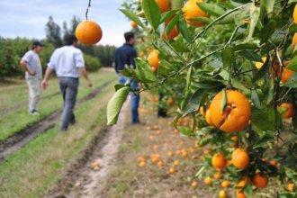 """""""Ante el nulo apoyo de las autoridades"""", productores monitorean al citrus para evitar el ingreso del HLB"""