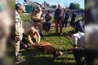 Fue capturado el aguará guazú que deambulaba por las calles de ciudad entrerriana