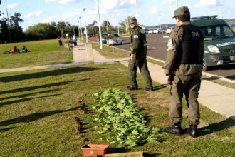 En plena costanera y a orillas del Uruguay, descubrieron una plantación ilegal de marihuana