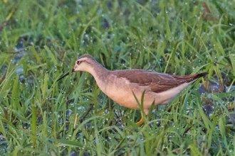 Hallaron dos nuevas especies de aves silvestres inéditas en la región