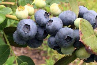 La empresa que comercializa el arándano de Concordia estuvo en la terna al premio mejor frutihorticultor
