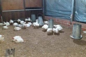 Ingresaron a una escuela y robaron 40 pollos parrilleros: aseguran que no es la primera vez que pasa