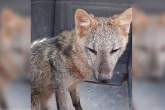 Capturaron al zorro que deambulaba por el centro de Paraná y será devuelto a su hábitat natural