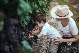 La vendimia en pleno suelo entrerriano, con la tradición de una familia que apuesta al compartir