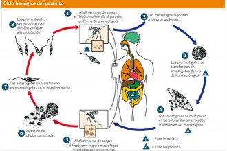 Leishmaniasis visceral: detección temprana  para disminuir la mortalidad