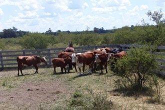 El ladrón de ganado no se toma vacaciones: había sustraído una treintena de vacas