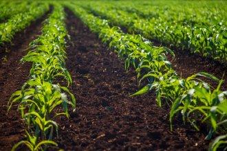 El área sembrada con maíz de primera creció por cuarto año consecutivo en Entre Ríos