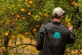 Detectan árbol de naranja con sintomatología de HLB en Corrientes