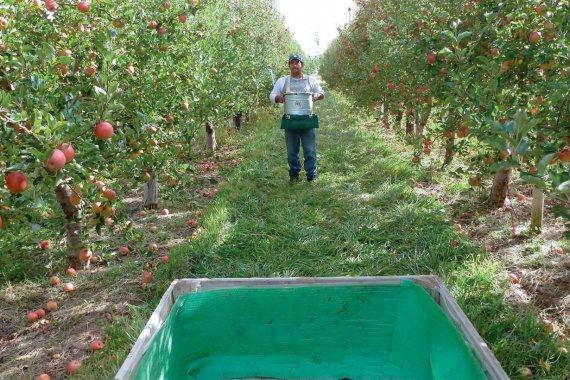 Abandonados a su suerte: Entrerrianos fueron a recolectar peras y manzanas en el sur y no pueden regresar