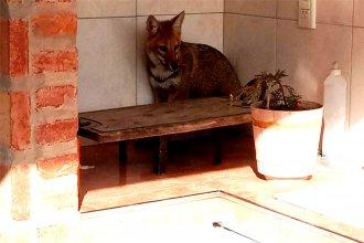 Sorpresa: fueron al quincho de su casa y encontraron un pequeño zorro