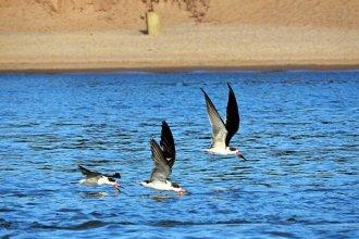 """Rayadores del río Uruguay: por streaming, invitan a informarse acerca """"del daño que sufren estas aves"""""""