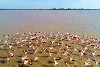 Imperdibles imágenes: flamencos migran hacia los inmensos bancos de arena que deja al descubierto el Paraná