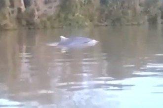 Un delfín en peligro de extinción fue filmado nadando en el río Paraná
