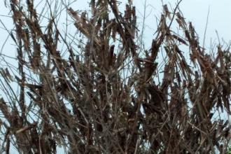 Manga de langostas amenaza plantaciones de naranjas en la costa del Uruguay