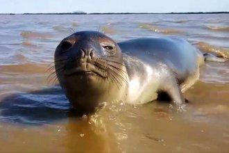 Apareció en el río Uruguay un elefante marino que habría nadado desde la Península de Valdez