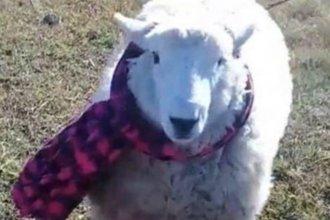 De Entre Ríos al mundo: Oscar, el simpático carnero que es furor en las redes