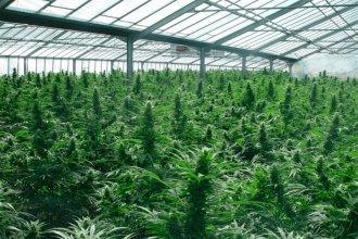 De las naranjas al cannabis, una inesperada reconversión
