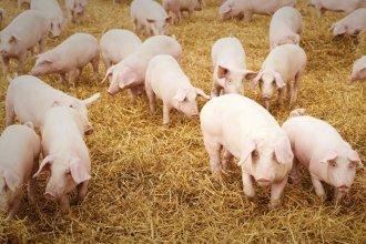 ¿Qué opina el sector porcino entrerriano sobre la posibilidad de que 2 granjas chinas se instalen en Entre Ríos?