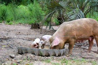 En días de debate sobre las mega granjas chinas, una opción más local: porcicultura familiar