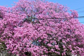 Las huellas del lapacho, el que sabe florecer en los inviernos de la vida