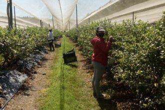 ¿Qué establece el protocolo para la cosecha y exportación de arándanos?