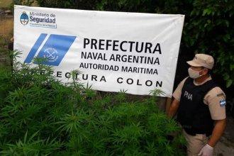 Millón y medio de pesos, el aforo incautado tras allanar plantación de marihuana