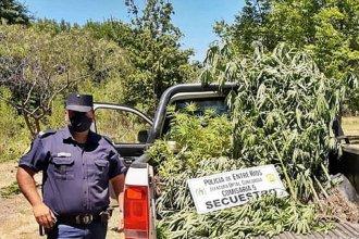 Secuestraron más de 100 plantas de marihuana en Concordia