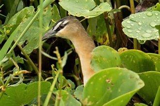 """""""Grata sorpresa"""" ante una nueva especie de ave en la fauna entrerriana"""