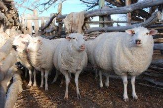 Con un proyecto de ley, buscan impulsar el desarrollo de la actividad ovina y caprina