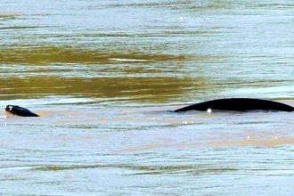 Pescadores fueron sorprendidos por una anaconda de gran tamaño frente a la costa de Concordia