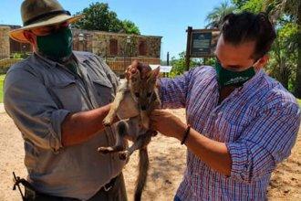 Liberaron a un zorro que fue hallado en una casa: ya se encuentra en el Parque San Carlos