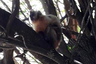 Odisea para atrapar a la más inteligente especie de chimpancé que se apareció en una casa