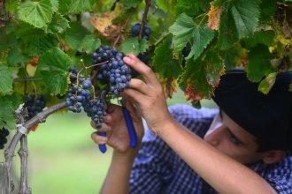 Las condiciones climáticas acompañan al éxito de la vendimia en viñedos de la provincia