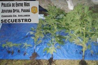 Buscaban elementos robados, pero encontraron un invernadero con plantas de marihuana