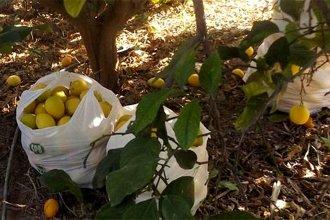 Preso por robar limones del patio de una vivienda