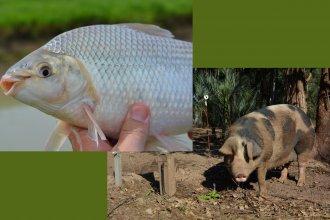 ¿Qué sabés de cerdos y peces? Un curso gratuito como respuesta