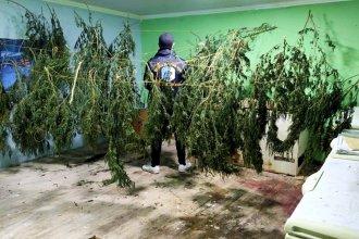Carnicería ocultaba 7 kilos de hojas de marihuana, secándose en la planta alta