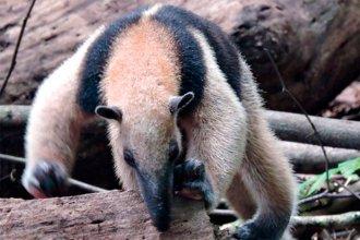 Captan imágenes de un oso hormiguero en montes de la región