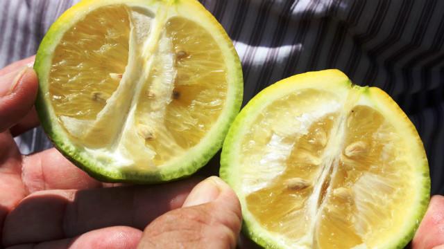 Es oficial: No hay HLB en el citrus de Corrientes.
