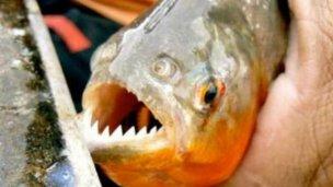 Pescador paranaense dijo cómo evitar ataques de palometas