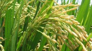 Las lluvias retrasaron la siembra de arroz en suelo entrerriano