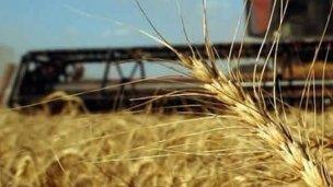 La producción de trigo cayó 11% en la provincia