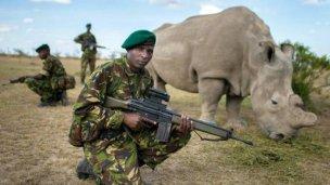 Al último rinoceronte blanco lo cuida un ejército