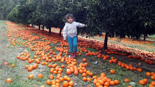 Ícono de la crisis: fruta abandonada en el piso