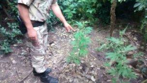 Sorpresa: encontró plantas de marihuana en el patio