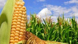 Una buena: creció la superficie sembrada de maíz