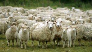 Los ovinos, protagonistas de una muestra