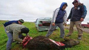 Murieron vacas en un vuelco y las carnearon en la ruta
